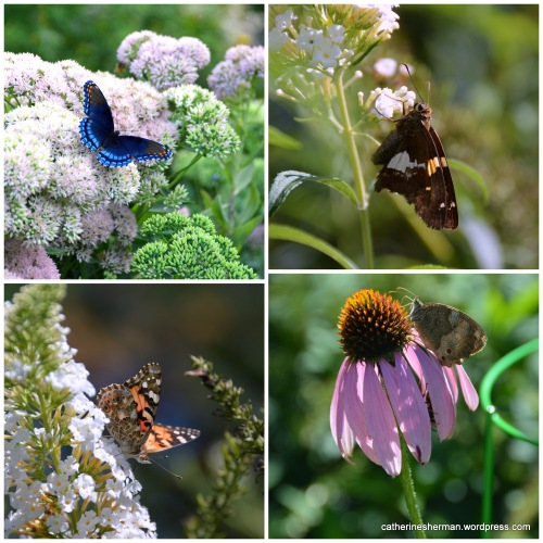 In the upper left is a Red-spotted Purple butterfly. The lower left is a Painted Lady butterfly. Can anyone tell me in the comments what the other two butterflies are? Can you see the insect lurking or resting under the petals of the coneflower?