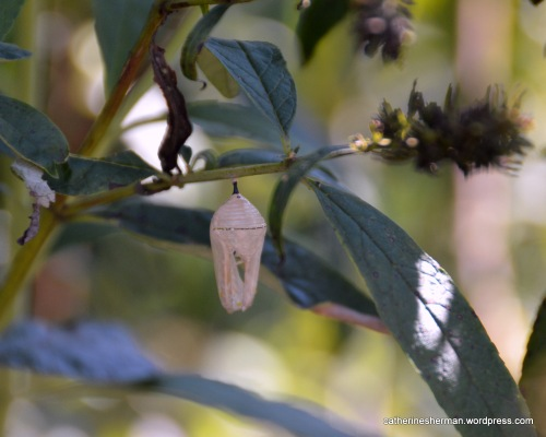 An empty Monarch butterfly chrysalis hangs from a butterfly bush.