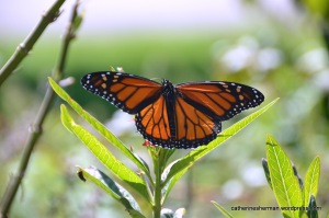 A Monarch butterfly sipping nectar from a tropical milkweed flower in the neighborhood butterfly garden.