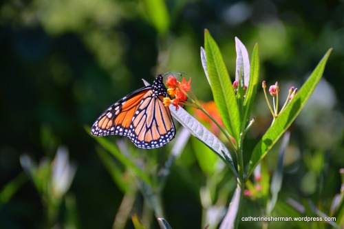 A male monarch butterfly sips from a tropical milkweed flower in my neighborhood butterfly garden. Just a few weeks ago, almost two dozen Monarch butterfly caterpillars were feasting on these milkweeds. Is this an adult returning to his nursery before heading off to begin the journey to a winter in Mexico?
