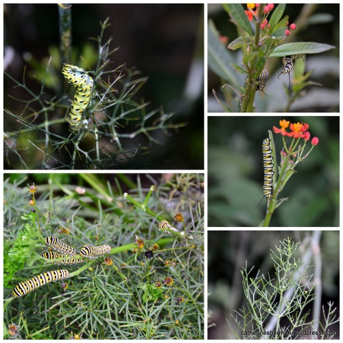 In the top left photo, a Black Swallowtail caterpillar eating fennel. In the lower left photo, a crowd of Black Swallowtail caterpillars eat parsley. In the upper right photo, two Monarch butterfly caterpillars thrash around as their antennae meet. In the center right photo, a Monarch butterfly caterpillar eats Tropical Milkweed. In the bottom right photo, Black Swallowtail butterfly eggs glisten on the narrow leaves of a bronze fennel.