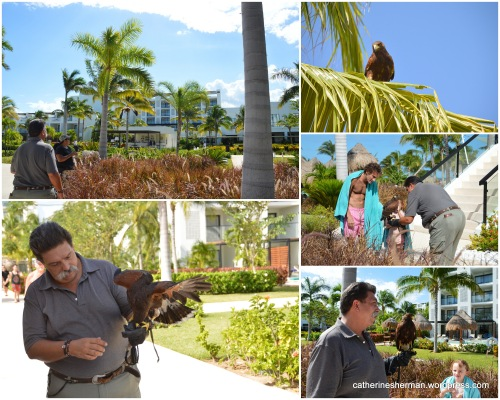 A falconer brings a Harris's Hawk to a Cancun, Mexico, resort to discourage smaller birds from hanging out on the grounds and pool areas, where they might soil the landscape. Clockwise from the upper left, the hawk flies to a palm tree; the hawk sitting in a tree; a little girl petting the hawk; the hawk resting on the man's gloved fist; and the hawk eating some food after being called back from the palm tree with a click.