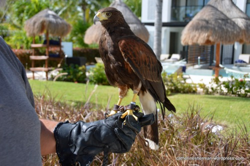 A Harris's Hawk stands on a falconer's fist at a Cancun, Mexico, resort.