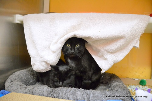 Towels can also provide privacy in a kennel. Here, two cats can hide behind the hanging towel, if they feel like having some privacy.