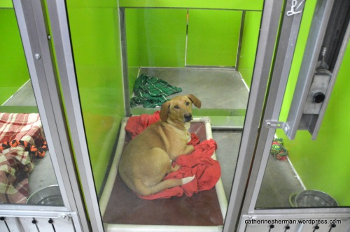 A dog enjoys a large sheet. Beyond is a blanket. In the next kennel, blankets cover a dog bed. Most of the bedding at the animal shelter is donated.