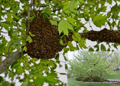 Honey Bee Swarm on a Maple Tree. Inset shows the position and size of the swarm in the tree.